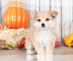 Poochon-Yorkshire Terrier Mix Puppy for sale in MOUNT VERNON, OH, USA