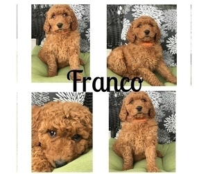 Goldendoodle Puppy for Sale in BOWLING GREEN, Kentucky USA