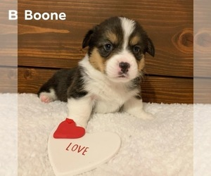 Pembroke Welsh Corgi Puppy for sale in PACKWOOD, IA, USA