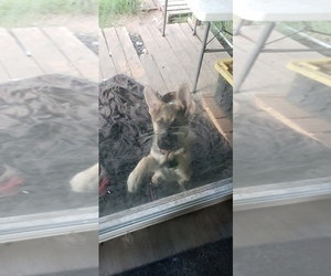 German Shepherd Dog Puppy for Sale in BRASHEAR, Texas USA