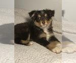 Small #1 Australian Shepherd