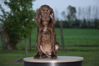 German Shorthaired Pointer Puppy For Sale in FREDERICKSBURG, OH,