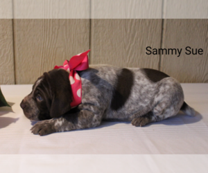 German Shorthaired Pointer Dog for Adoption in RAGERSVILLE, Ohio USA