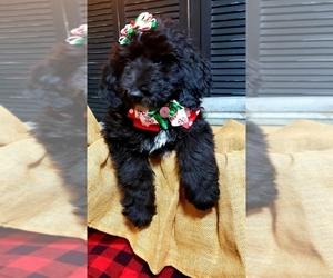 View Ad Labradoodle Puppy For Sale Near Ohio Ottawa Usa