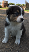 Australian Shepherd Puppy For Sale in SPRINGFIELD, MN, USA