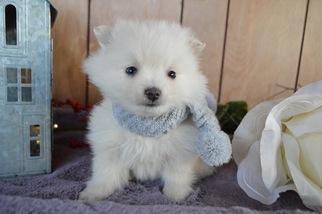 Pomimo Dog for Adoption in HONEY BROOK, Pennsylvania USA
