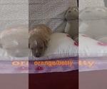 Puppy 3 Goldendoodle-Poodle (Standard) Mix