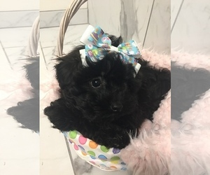 Poodle (Toy)-Shih Tzu Mix Puppy for Sale in FREDERICK, Maryland USA