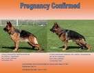 Top bloodlines German shepherd import puppies