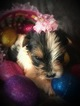 Yorkshire Terrier Puppy For Sale in CAVE CITY, Kentucky,