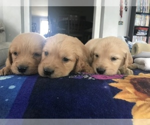 Golden Retriever Puppy for sale in STOKESDALE, NC, USA