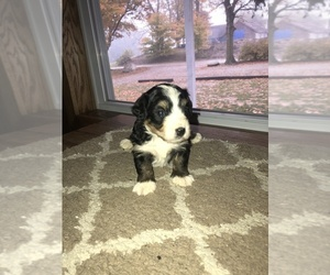Miniature Bernedoodle Puppy for sale in ADDISON, MI, USA