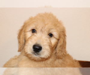 Goldendoodle Puppy for Sale in BRIGHTON, Missouri USA