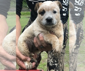 Australian Cattle Dog Puppy for sale in PIKEVILLE, NC, USA