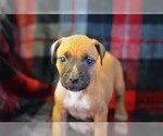 Puppy 6 American Pit Bull Terrier-Belgian Malinois Mix