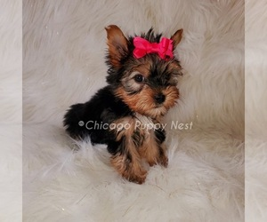 Yorkshire Terrier Puppy for Sale in OAK PARK, Illinois USA