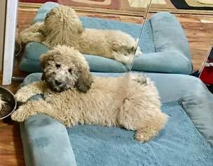Labradoodle Puppy For Sale in MORAGA, CA