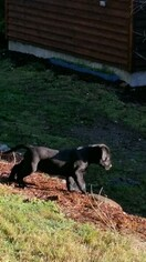 Labrador Retriever Puppy For Sale in SNOHOMISH, WA, USA