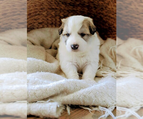 Medium Photo #5 Great Pyrenees Puppy For Sale in FALCON, CO, USA