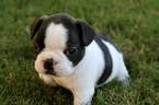 French Bulldog Puppy For Sale in ELKMONT, AL, USA