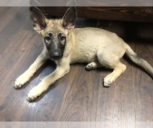 German Shepherd Dog Puppy for sale in CLEAR LAKE, IA, USA