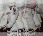 English Cream Golden Retriever Puppy For Sale in RINGGOLD, GA, USA