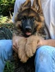 German Shepherd Dog Puppy For Sale in GATES MILLS, OH, USA