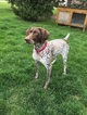 German Shorthaired Pointer Puppy For Sale in RIVERVIEW, MI, USA