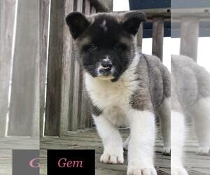Akita Puppy for sale in SHILOH, OH, USA