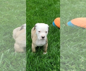 American Bulldog Puppy for Sale in DERRY, New Hampshire USA
