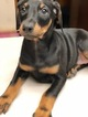 Doberman Pinscher Puppy For Sale in NEW CASTLE, CO,