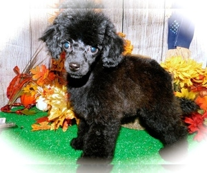 Poodle (Toy) Puppy for sale in HAMMOND, IN, USA