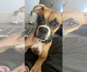 Boxer Puppy for sale in BROOKSVILLE, FL, USA