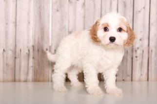 View Ad: Cavapoo Puppy for Sale near Ohio, MOUNT VERNON, USA