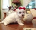 Maltese Puppy For Sale in SAN FRANCISCO, CA,