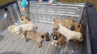 Anatolian Shepherd Puppy for sale in WHITE HAVEN, PA, USA