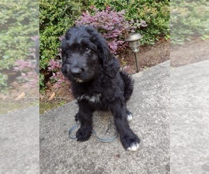 Bernedoodle Puppy for Sale in AND, South Carolina USA