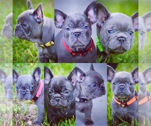 French Bulldog Puppy for sale in LAKE WORTH, FL, USA
