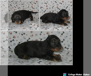 Dachshund Puppy for sale in CHANUTE, KS, USA