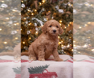 Goldendoodle Dog for Adoption in WOODRUFF, South Carolina USA