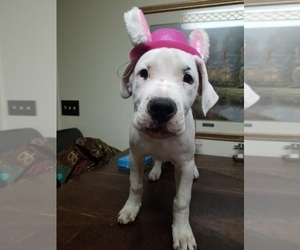 Dogo Argentino Puppy for sale in KEMPNER, TX, USA