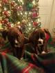 Boxer Puppy For Sale in BUFFALO, NY, USA