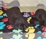 Small #31 Labrador Retriever