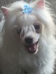 Maltipom Puppy For Sale in ISLAND LAKE, IL, USA