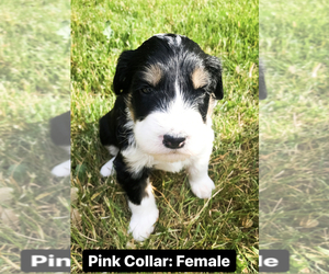 Bernedoodle-Sheepadoodle Mix Puppy for Sale in BEXLEY, Ohio USA