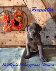 Great Dane Puppy For Sale in GEORGETOWN, KY