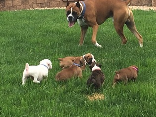 Boxer Puppy For Sale in PEYTON, CO, USA