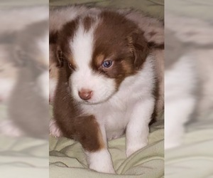 Australian Shepherd Puppy for Sale in HERNANDO, Mississippi USA