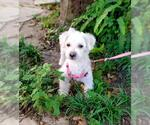 Small #15 Poodle (Miniature) Mix