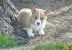 Pembroke Welsh Corgi Puppy For Sale in LOS ANGELES, CA,